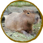 Sponsor our Capybara Family
