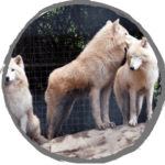 Sponsor our Hudson Bay Wolves