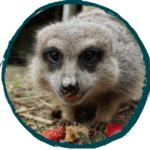 Sponsor Meerkats