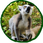 Sponsor our Ring Tailed Lemurs