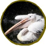 Sponsor Oscar, the Pelican